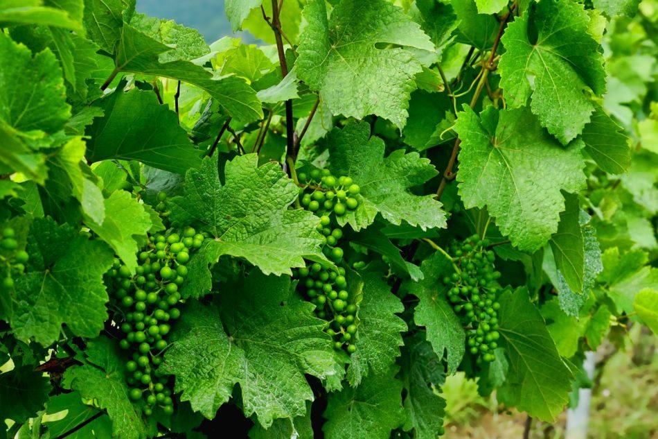 Zaštita vinove loze: plamenjača, pepelnica, siva trulež, eskorioza
