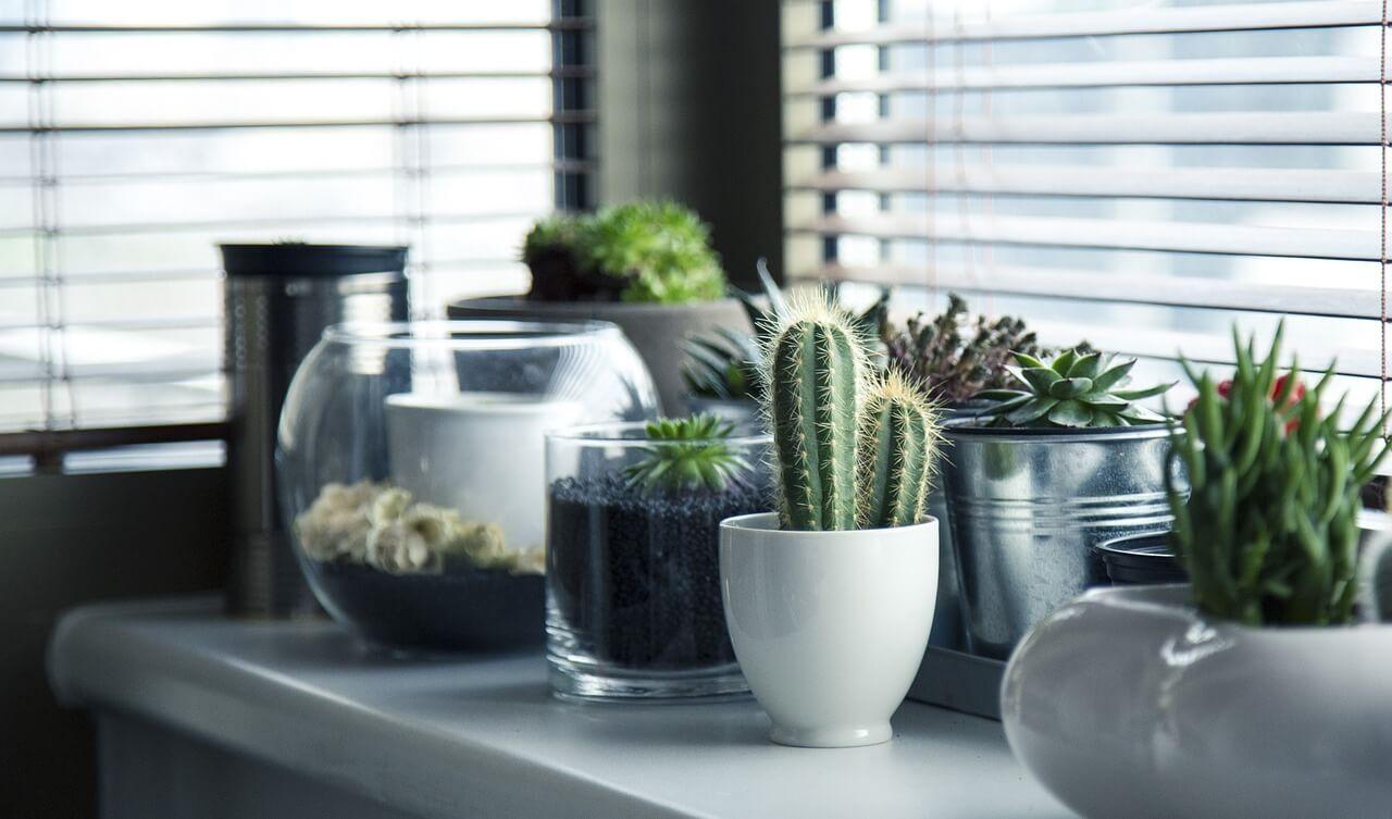 Saksije sa kaktusima na stolu