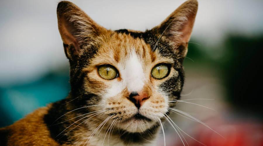 Šarena mačka sa zelenim očima