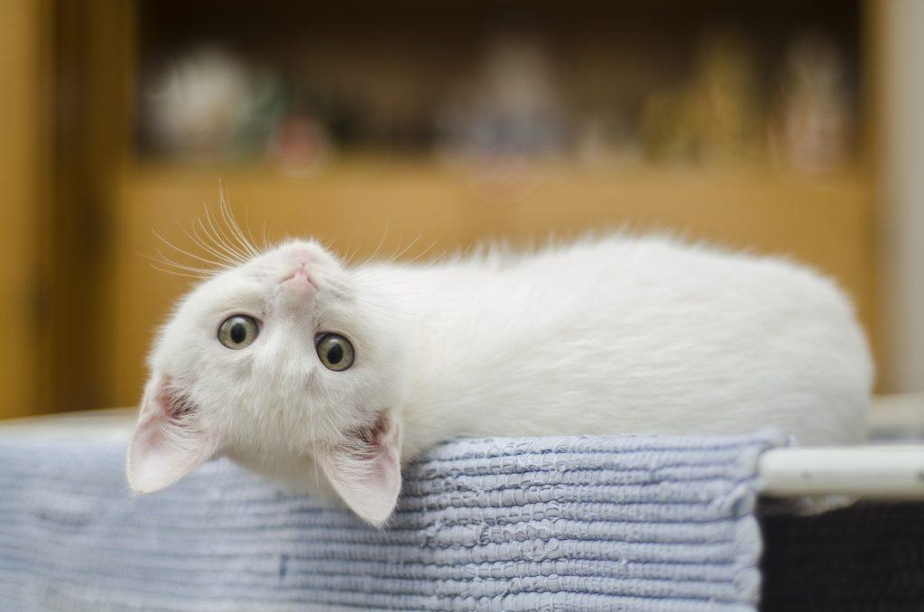 10 zanimljivosti o mačkama