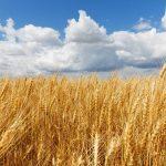 pšenica-nebo