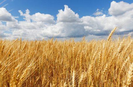 Zrnasti proizvodi – Blistava šansa za izvoz Srbije
